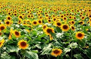 【向日葵专题】向日葵栽培|病虫害防控