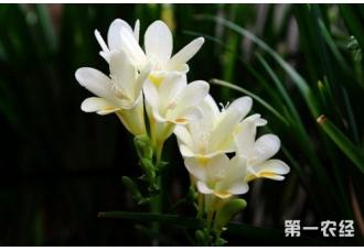 香雪兰什么时候开花,花期多长?
