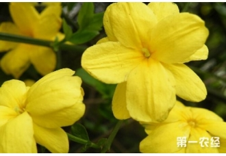 迎春花不开花的原因及解决方法有哪些?