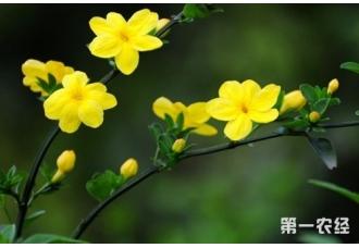 迎春花养护要点有哪些?
