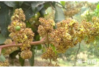芒果种植技术:芒果怎么保花保果?