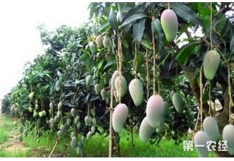 成龄却低产的芒果园怎么改造?