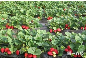 草莓冬季如何覆盖保温?