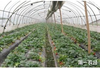 草莓结果期要注意的问题有哪些?