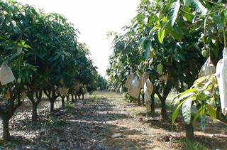 【芒果专题】芒果栽培种植技术|病虫害