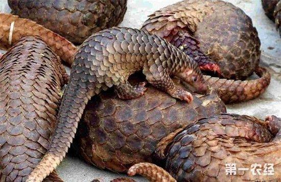 穿山甲 又叫甲片。为鲮鲤科动物穿山甲的鳞片,具有活血、下乳、消肿、排脓的功能。广西是主产地,国外产于越南、老挝、缅甸等东南亚各国。国内穿山甲因多年狂捕滥杀,资源也濒临枯褐,被列为国家二级保护物种之一,严禁捕杀和上市交易,已经几乎无货应市。近年国内药用的穿山甲大多来自邻国产地,往往又是通过边境小路进入边贸市场进行地下交易,进入国内后又受的严格检查,因此,近年来进入边贸市场的地下交易量也在剧减,因而使穿山甲成为热销品种,其价步步登高,一年上一个新的平台,2005年每千克还只500—600元,2