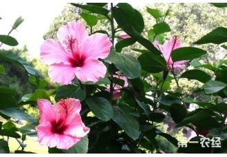 扶桑为什么长期不开花?