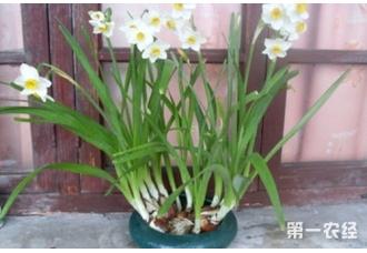 水仙花什么时候开花,有什么控花技巧?