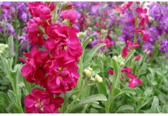 紫罗兰的养殖方法和注意事项