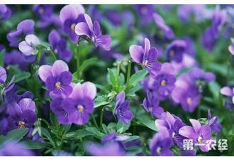 紫罗兰什么时候开?紫罗兰花期介绍