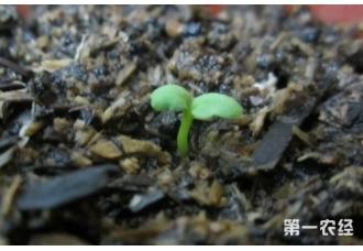 紫罗兰怎么播种?紫罗兰种子播种方法