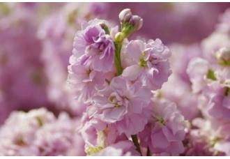 紫罗兰有哪些颜色?【图片欣赏】