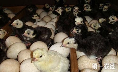恒温孵化:适用于种蛋分批入孵的方式