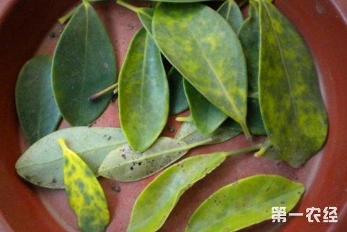 鸭掌木叶子发黄的原因及解决方法有哪些?