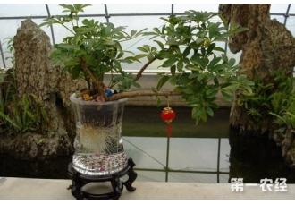 鸭掌木怎么水培?水培鹅掌柴养殖方法