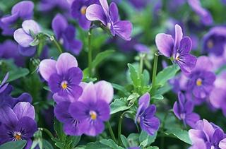 【紫罗兰专题】紫罗兰养殖方法|病虫害防治