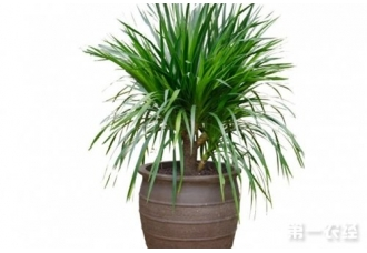 盆栽龙血树养护要点有哪些?