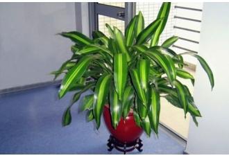 龙血树属常见的观赏植物有哪些?