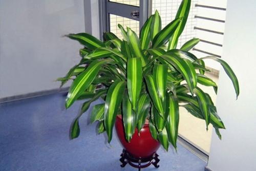 【专家解答】龙血树属植物