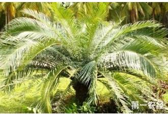 铁树有毒吗?我国常见的铁树种类有哪些?