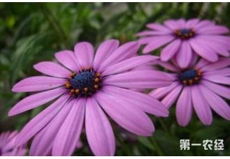 大花雏菊要怎么种植养护?