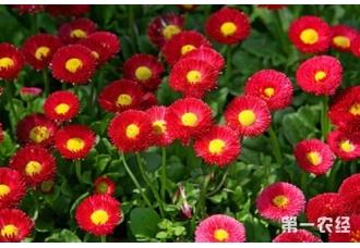培养雏菊有哪些技术要点?