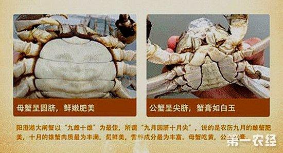 螃蟹怎么分公母图片