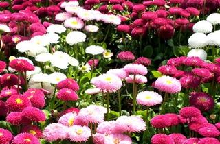 【雏菊专题】雏菊养殖方法|雏菊病虫害