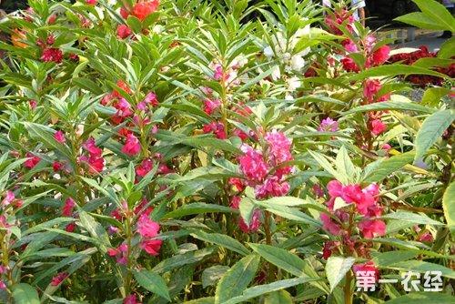 凤仙花的栽培方法 地栽和盆栽