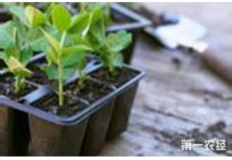 豌豆种植:豌豆栽培技术要点介绍