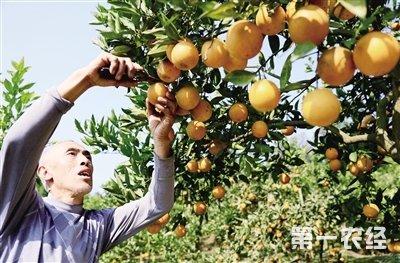 四川华蓥血橙飘香 亩产3000斤