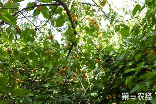 杏树病虫害如何防治?杏树病虫害防治方法有哪些?