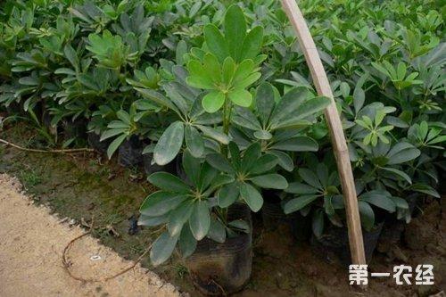 最佳生长土壤:鸭脚木盆栽用土可以泥炭土
