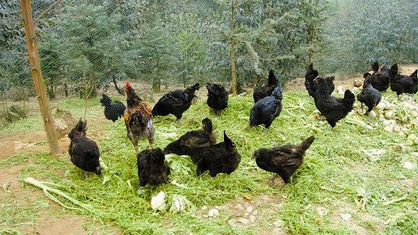 生态养殖 林下鸡不惧市场