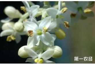 橄榄花怎么养?橄榄花的养殖方法和注意事项