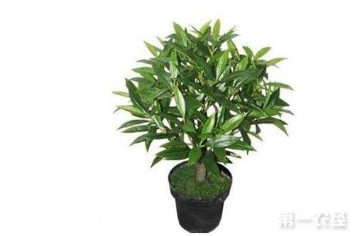 橄榄树病害及其防治方法