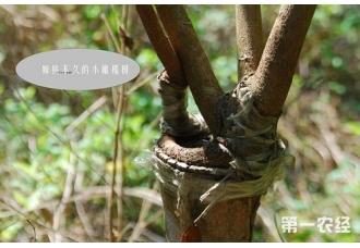 橄榄树怎么嫁接?橄榄树嫁接技术