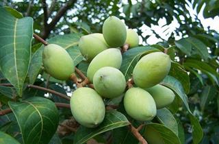 【橄榄专题】橄榄树种植技术|病虫害防治