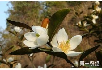 含笑花的繁殖方法有哪些?