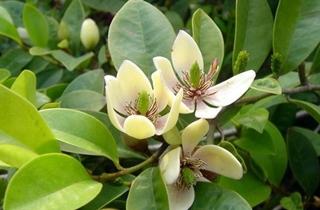 【含笑花专题】含笑花养殖方法|病虫害防治