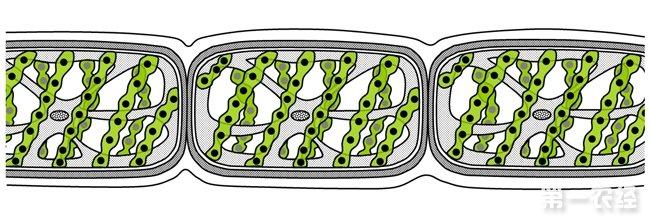 藻体由筒状细胞连接而成单列不分的丝状群体,含有一条至多条带状螺旋形叶绿体.繁殖一般为细胞分裂,多在夜间进行.有时两条丝状体细胞互相结合,形成结合子,经休眠后萌发为个体,大量繁殖时影响水质,对鱼类繁殖不利.水绵(shuimian)(Spirogyra) 绿藻门、接合藻纲、水绵科、水绵属植物.