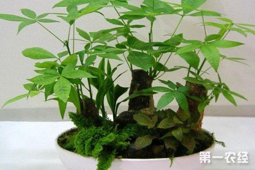 发财树盆栽的换盆方法