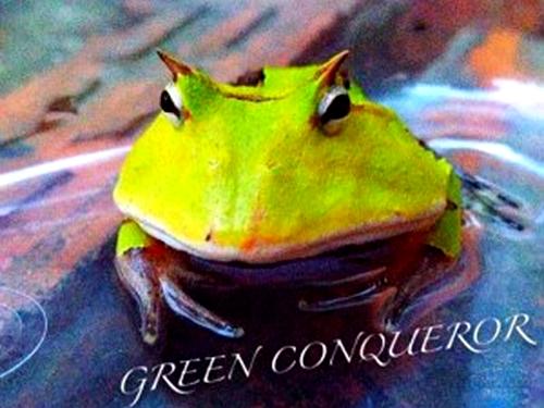 绿霸王角蛙你了解吗?