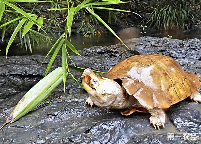 「菲律賓池龜」的圖片搜尋結果