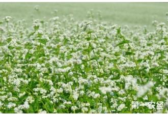 荞麦的种植技术要点有哪些?