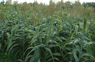 【高粱专题】高粱栽培种植技术|高粱病虫害
