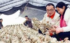 河南正阳:冬闲食用菌产业扶贫致富