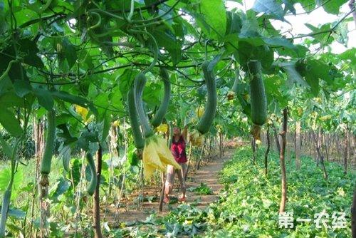 蔬菜立体套种技术:青椒 丝瓜 香菜
