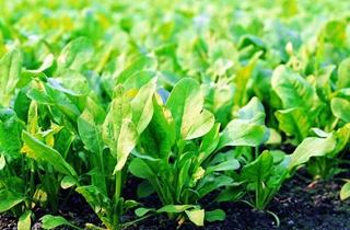【菠菜专题】菠菜种植技术|菠菜病虫害
