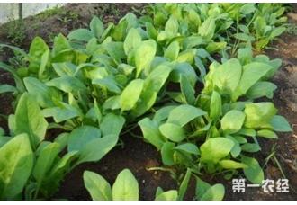 菠菜种植:冬季怎么种植菠菜?